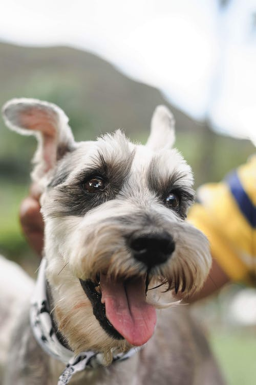 Positive purebred Miniature Schnauzer dog with tongue out looking at camera against blurred background in nature in daytime