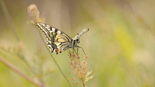 Closeup of Common Yellow Swallowtail butterfly on dry grass on blurred background rural field
