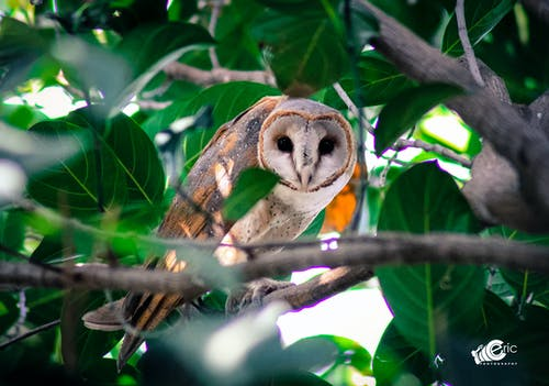 Free stock photo of barn owl, mothernature, nature