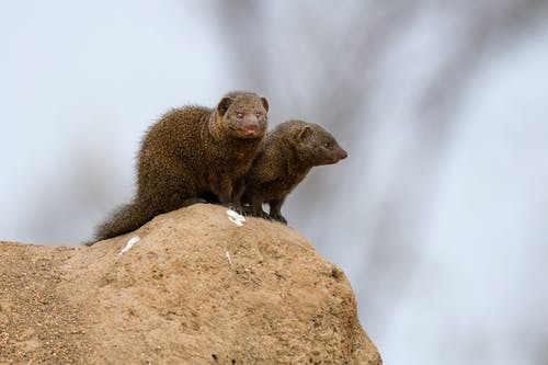 Close-Up Shot of Two Mongooses