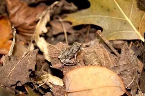 Gratis arkivbilde med arkansas, baby frosk, blader