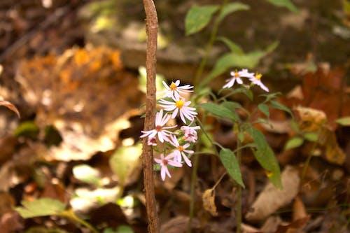 Gratis arkivbilde med arkansas, blader, blomst