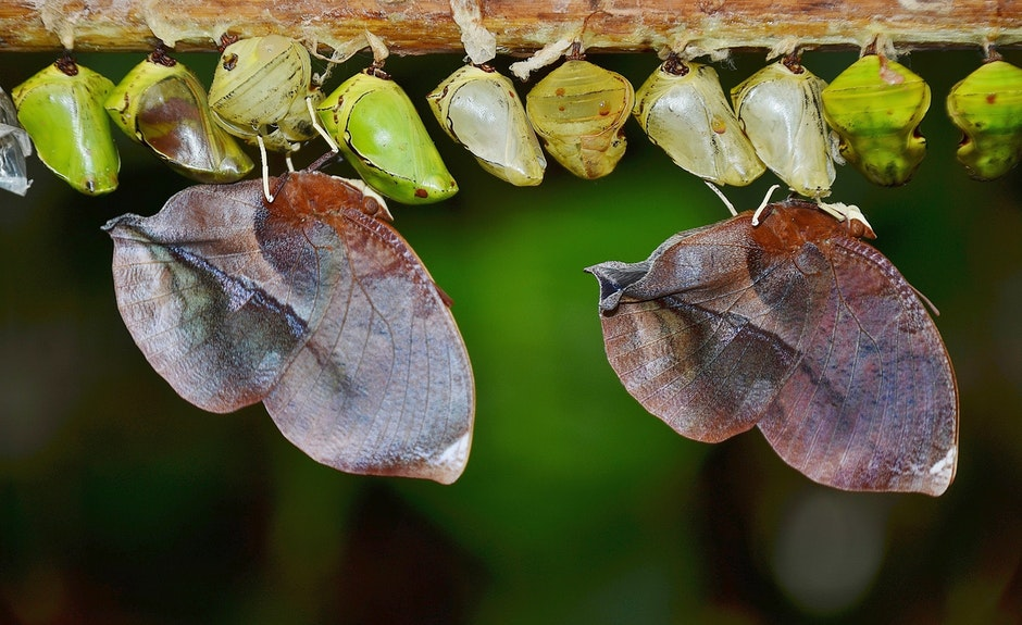 butterflies, cocoons, insect larvae