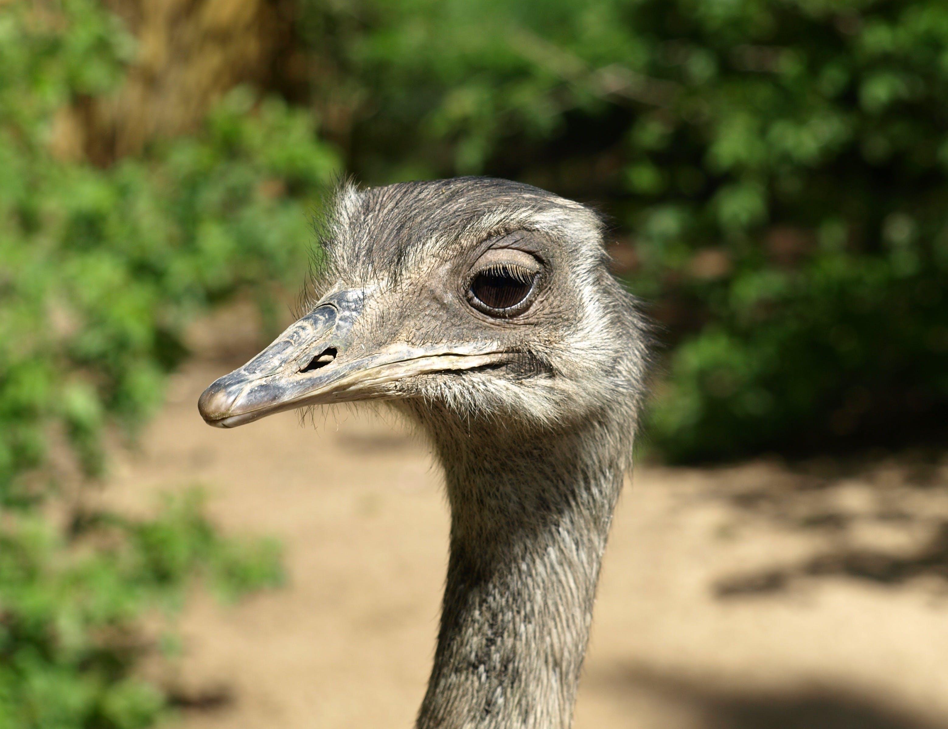 คลังภาพถ่ายฟรี ของ rheidae, นกกระจอกเทศ, นกตัวใหญ่, นกที่บินไม่ได้