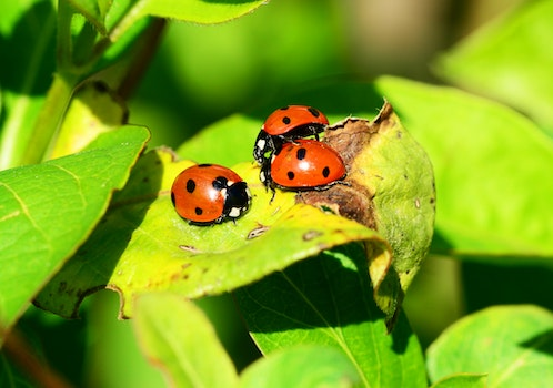 Red Ladybug on Green Leaf