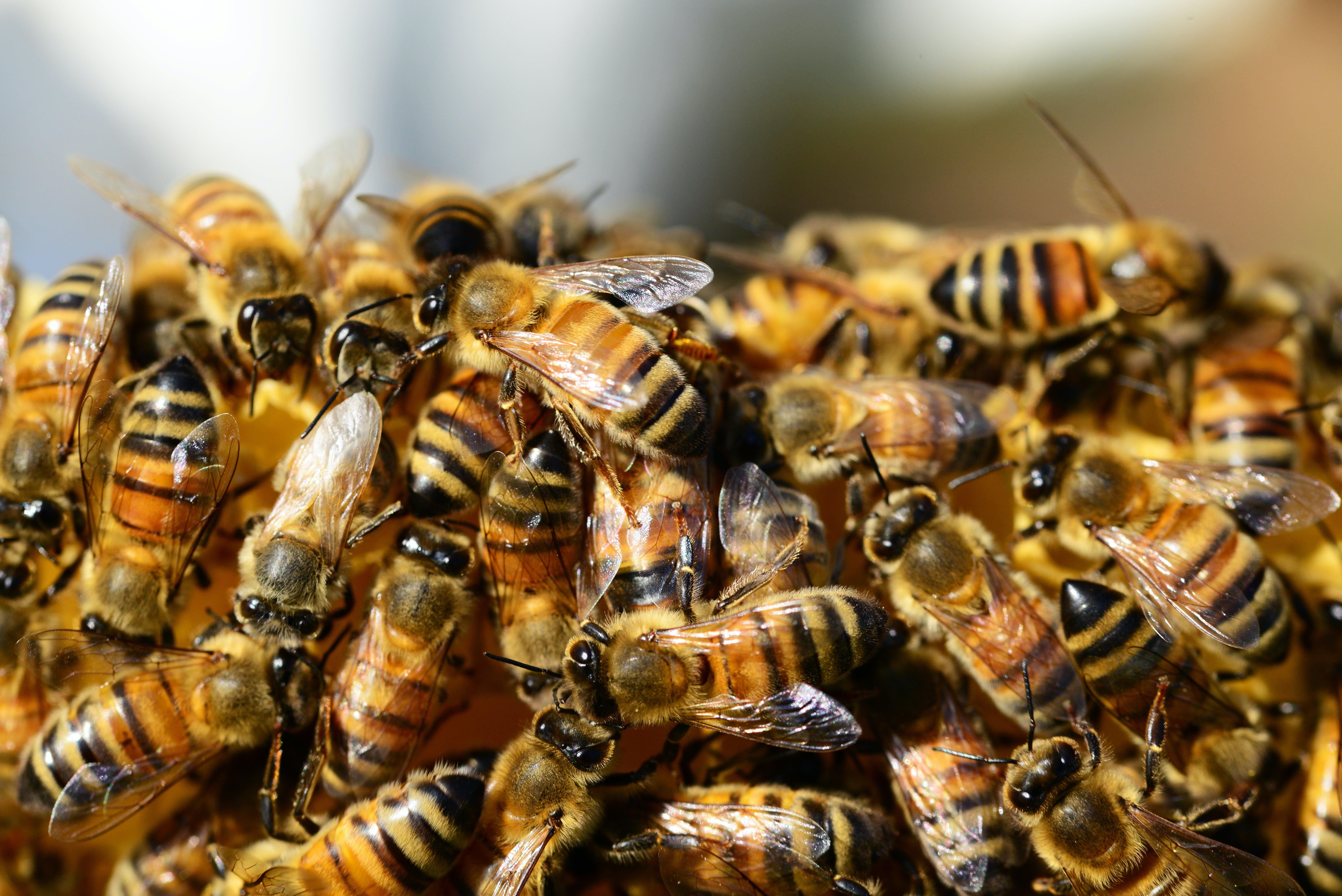 Foto profissional grátis de abelhas, asas, detalhe, enxame de abelhas