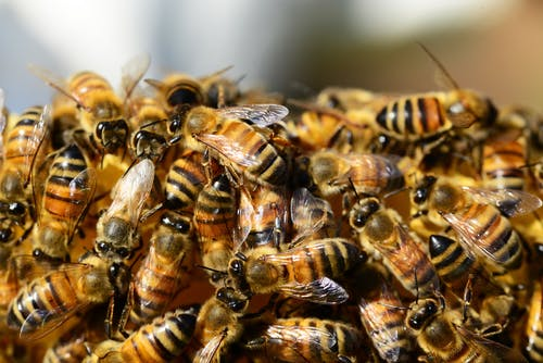 一群蜜蜂, 宏觀, 昆蟲, 條紋 的 免費圖庫相片
