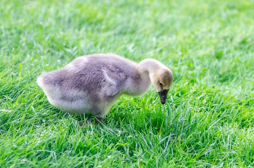 Gray Duckling on Grass
