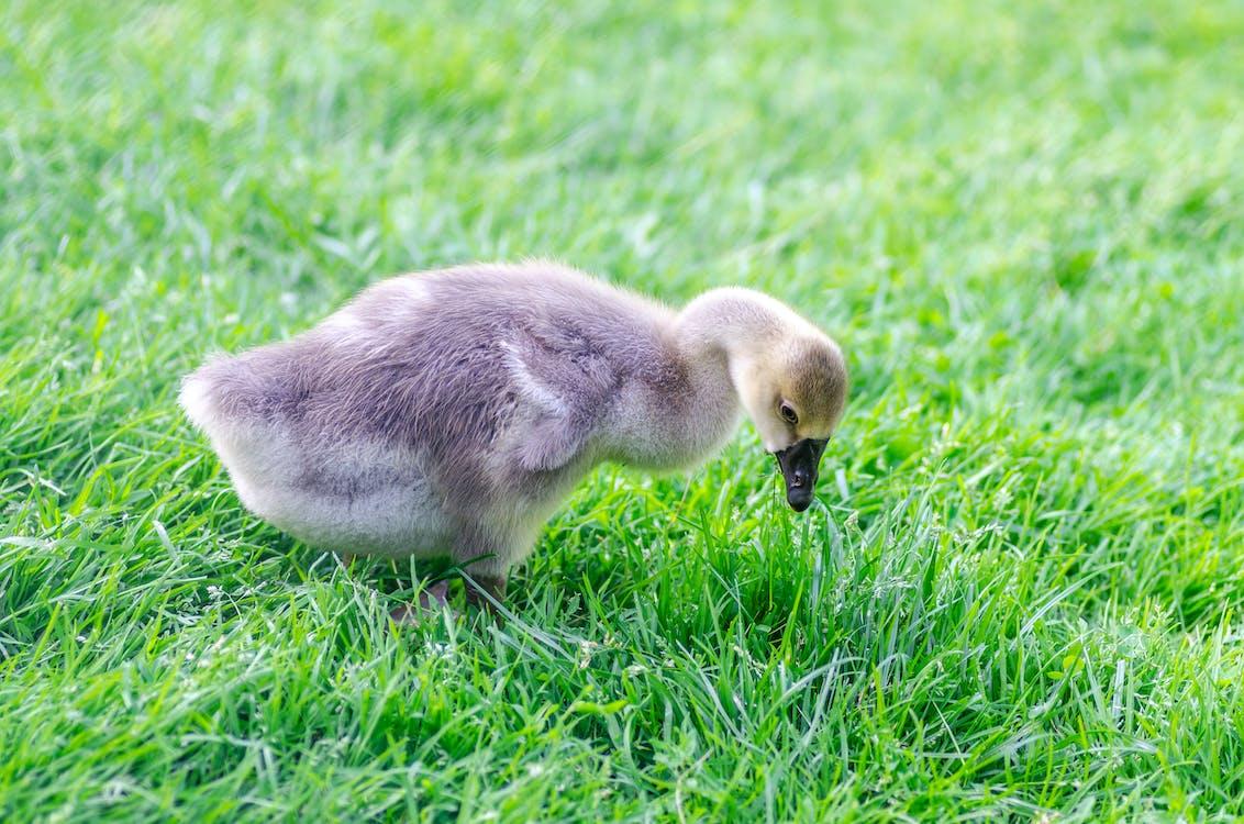 Gray Duckling on Grass