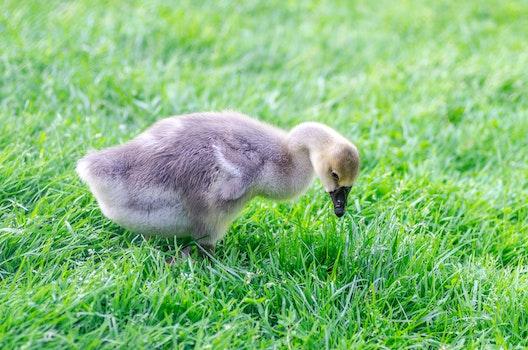 Free stock photo of bird, field, animal, cute