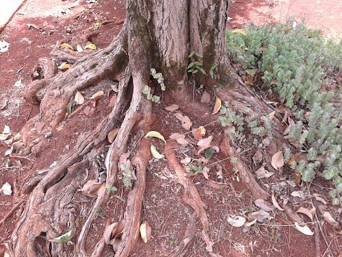Free stock photo of raiz arbol