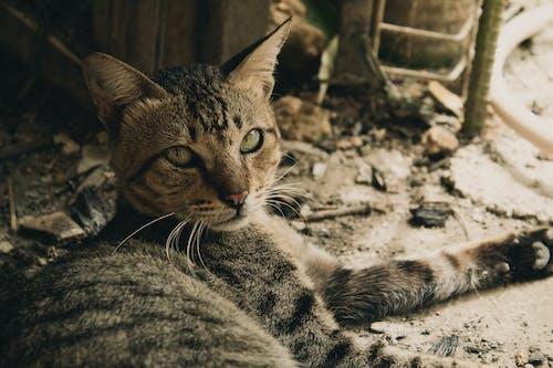 가정의, 고양이, 고양잇과, 고양잇과 동물의 무료 스톡 사진