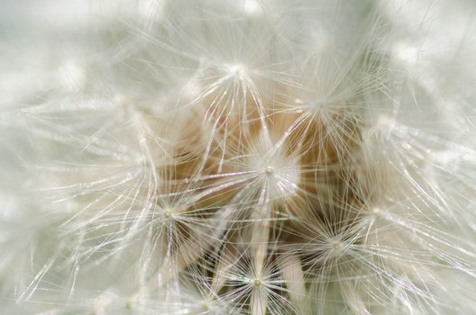 Free stock photo of nature, flower, macro, dandelion