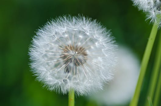 Shallow focus photography of white dandelion flower free stock photo similar photos mightylinksfo