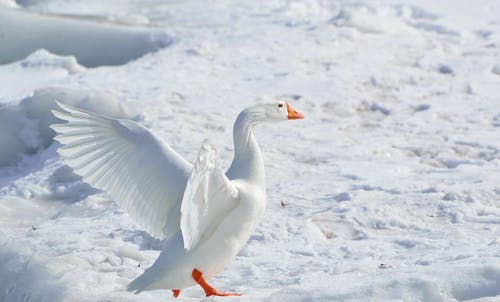 คลังภาพถ่ายฟรี ของ ขน, ขาว, ธรรมชาติ, นกลุย