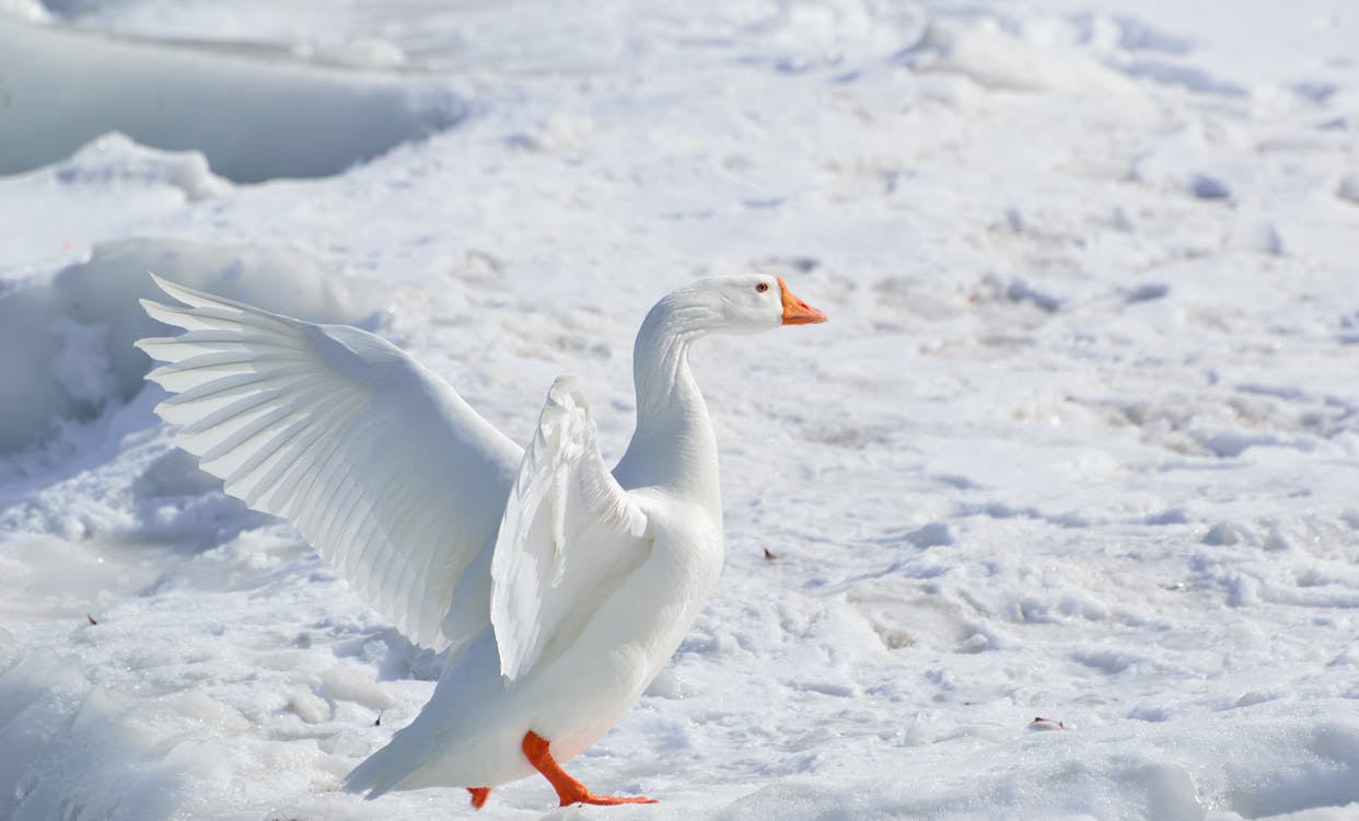 White Goose on Snow Covered Ground at Daytime