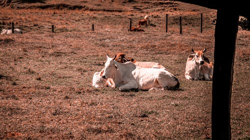 Cows Lying Down on the Grass