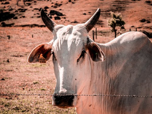 A Close-Up Shot of a Cow