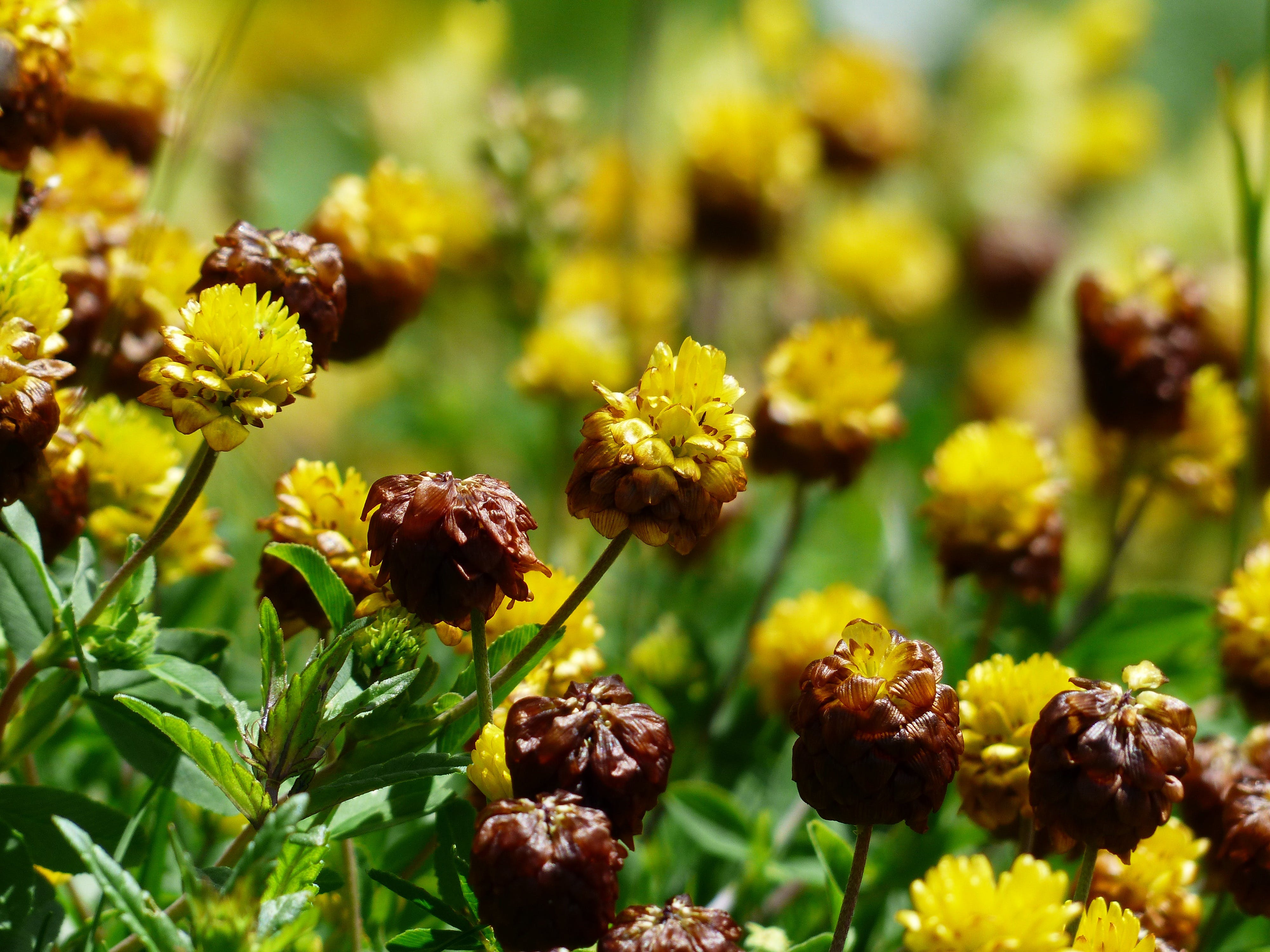 Brown and Yellow Cluster Petaled Flower Closed Up Photography