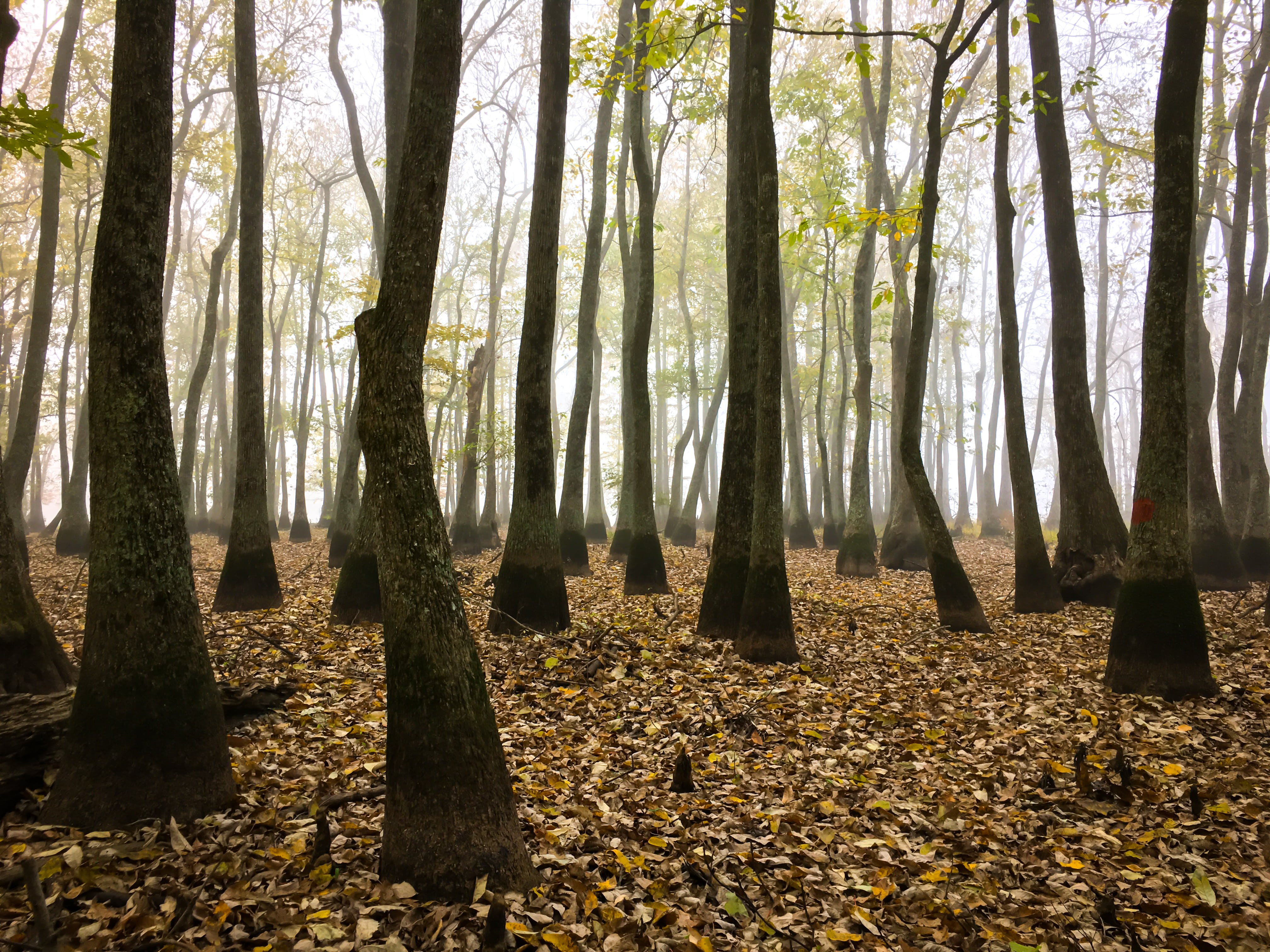 Free stock photo of fog, foggy, forest, woods