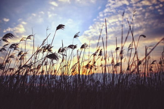 Phragmites by sunset
