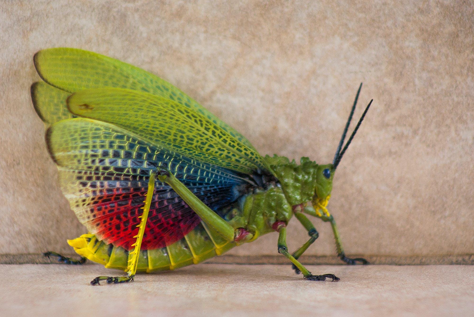 Darmowe zdjęcie z galerii z owad, szarańcza
