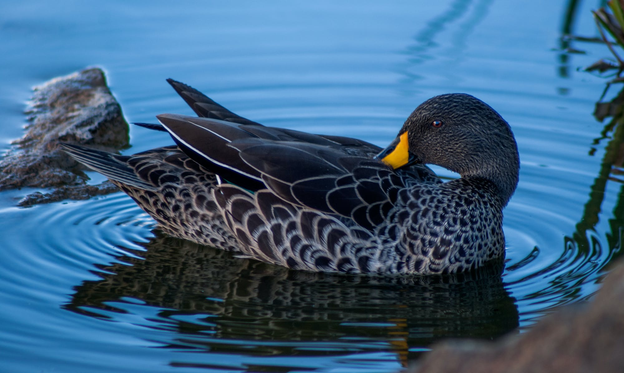 Brown Duck at the Body of Water