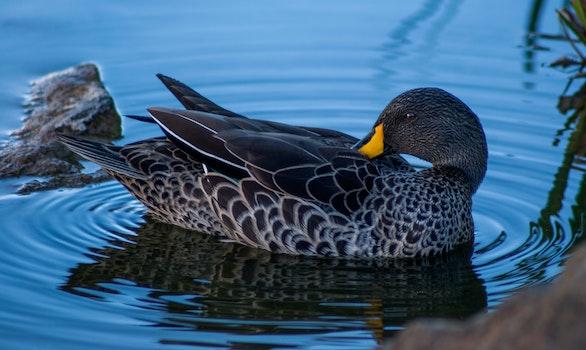 Free stock photo of nature, bird, water, animal