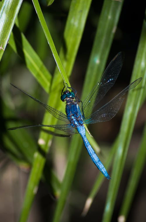 Free stock photo of blue dragonfly, dragonfly