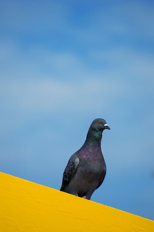 Free stock photo of pigeon