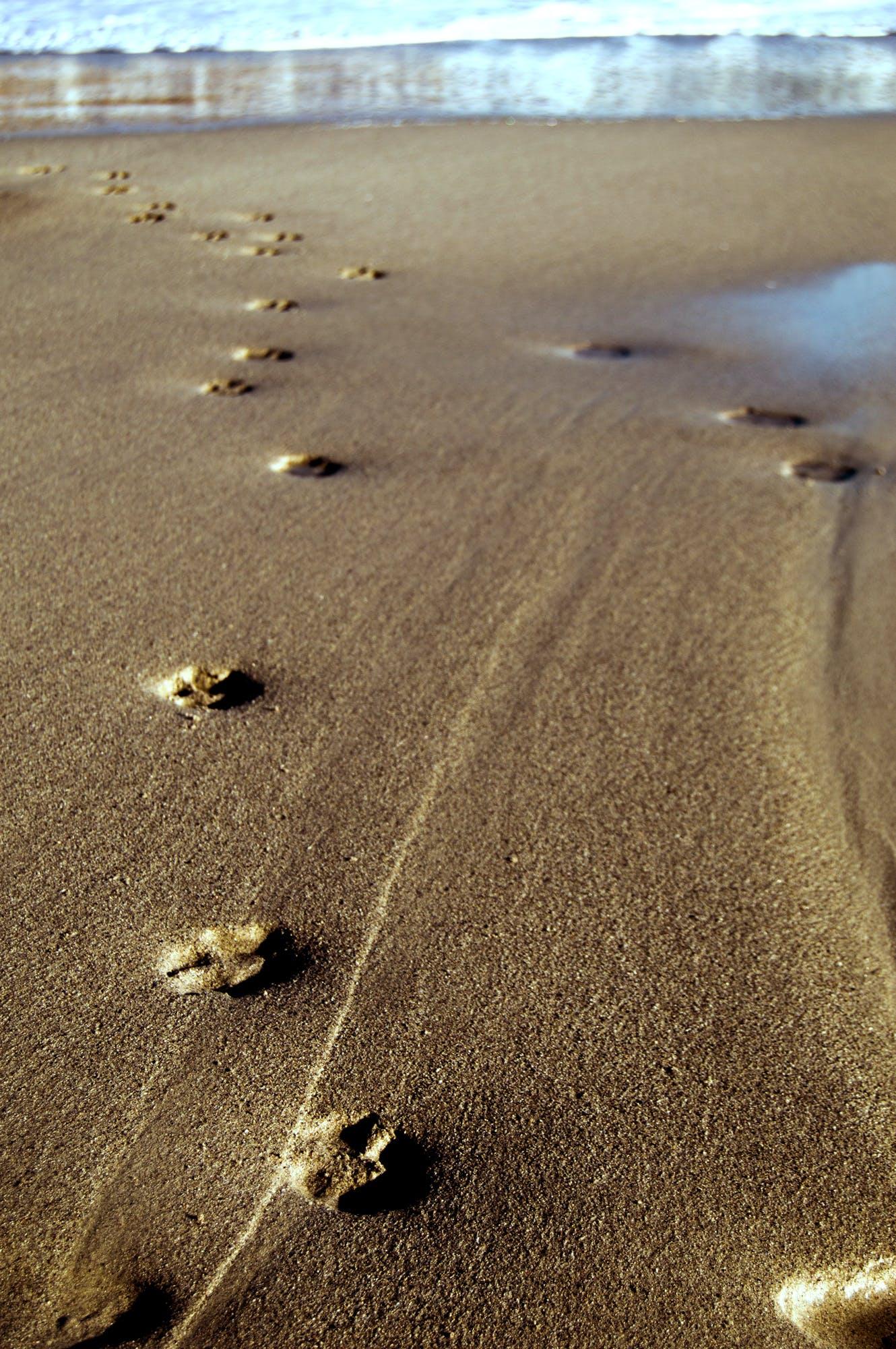 Darmowe zdjęcie z galerii z odciski łap, ślady łap na plaży, wydruki łap
