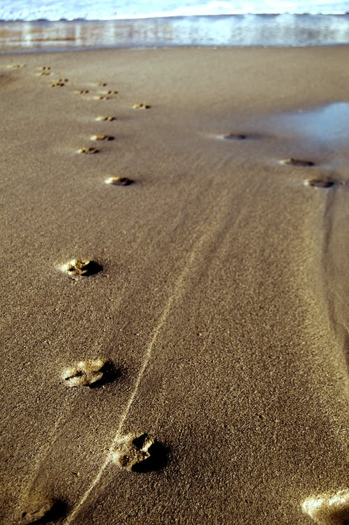 Free stock photo of paw prints, paw prints on beach, pawprints