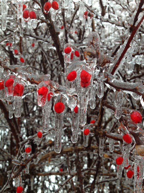 Gratis arkivbilde med bær, frosset, grener, is