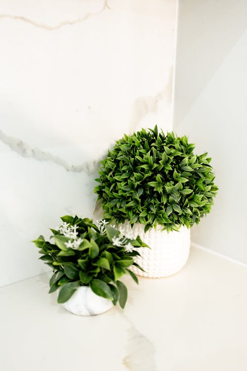 Green potted Jasminum sambac and Buxus sempervirens plants on marble surface