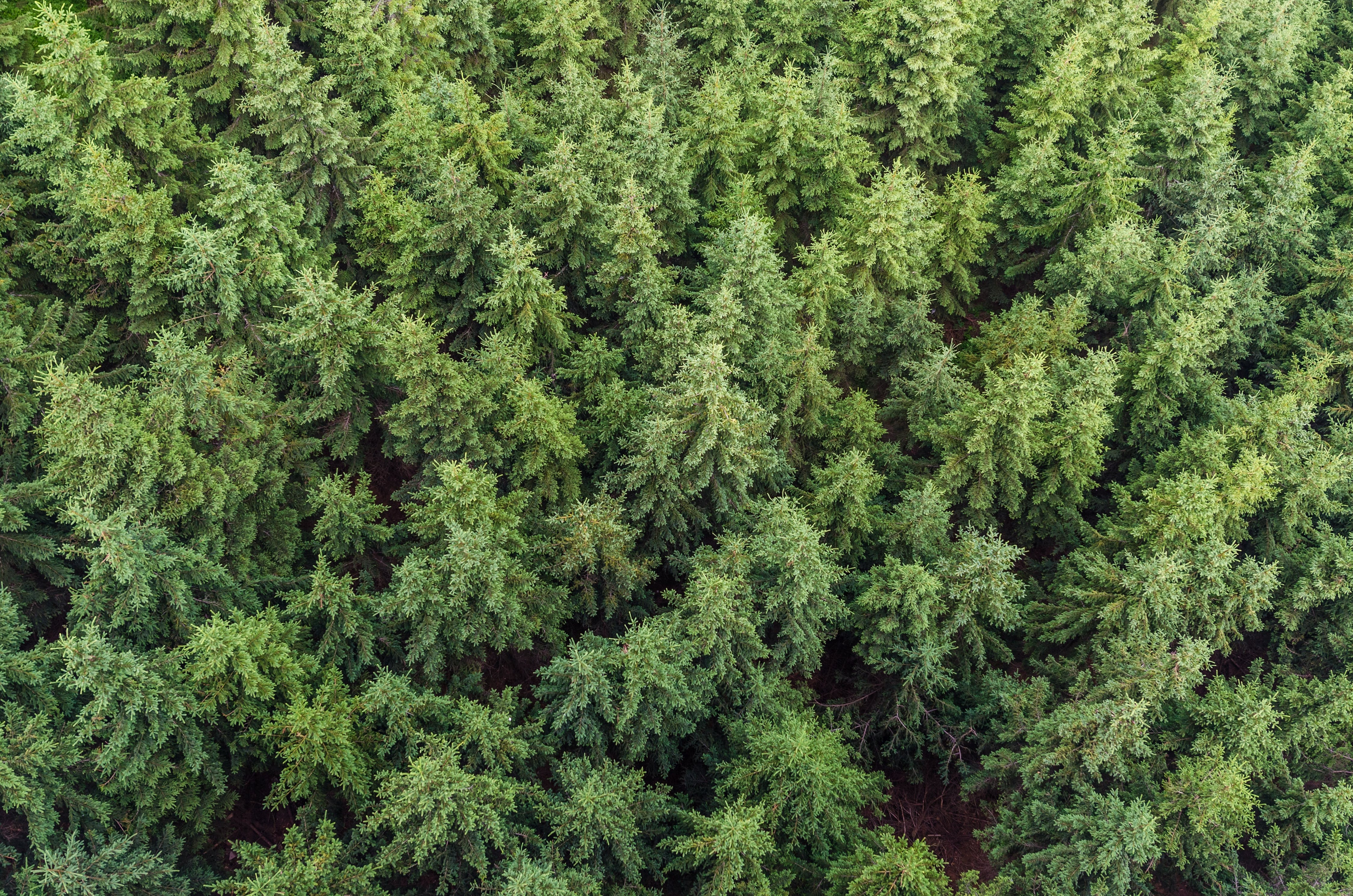 aerial view, conifers, fir trees
