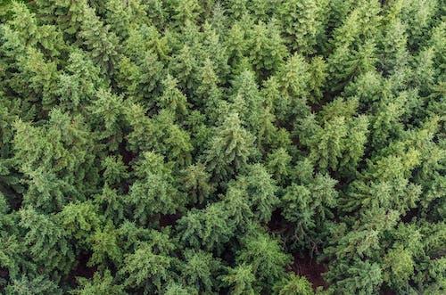 Kostnadsfri bild av barrträd, flygperspektiv, Granar, idyllisk