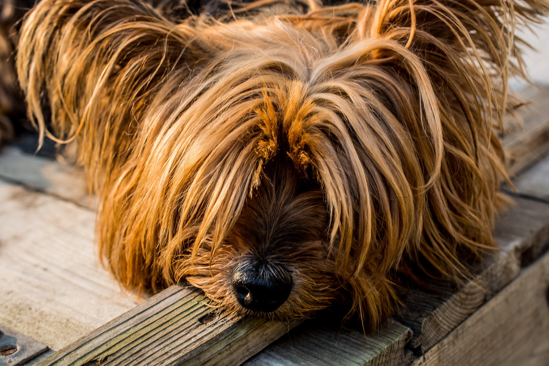 Tan Long Coat Dog Eyes Covered