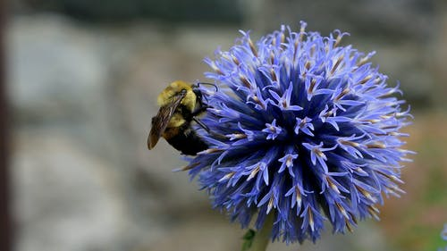 Closeup Photography of Bee on Blue Petaled Flower