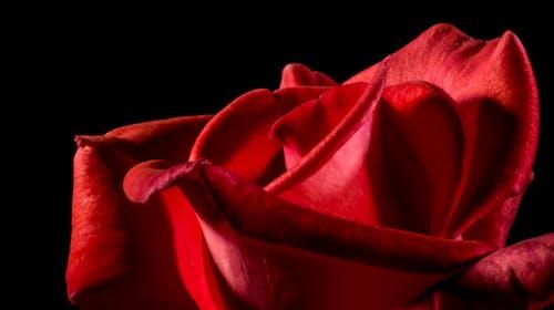 Fotobanka sbezplatnými fotkami na tému bezplatná tapeta, červená, detailný záber, flóra