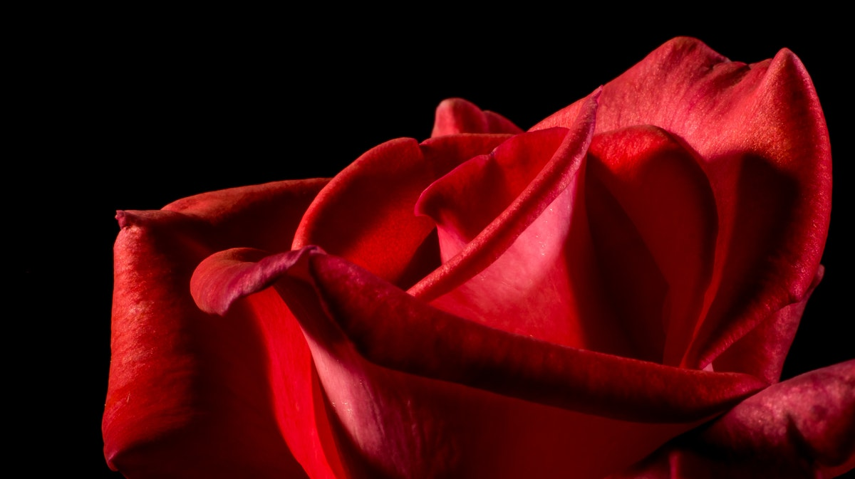 Red Rose · Free Stock Photo