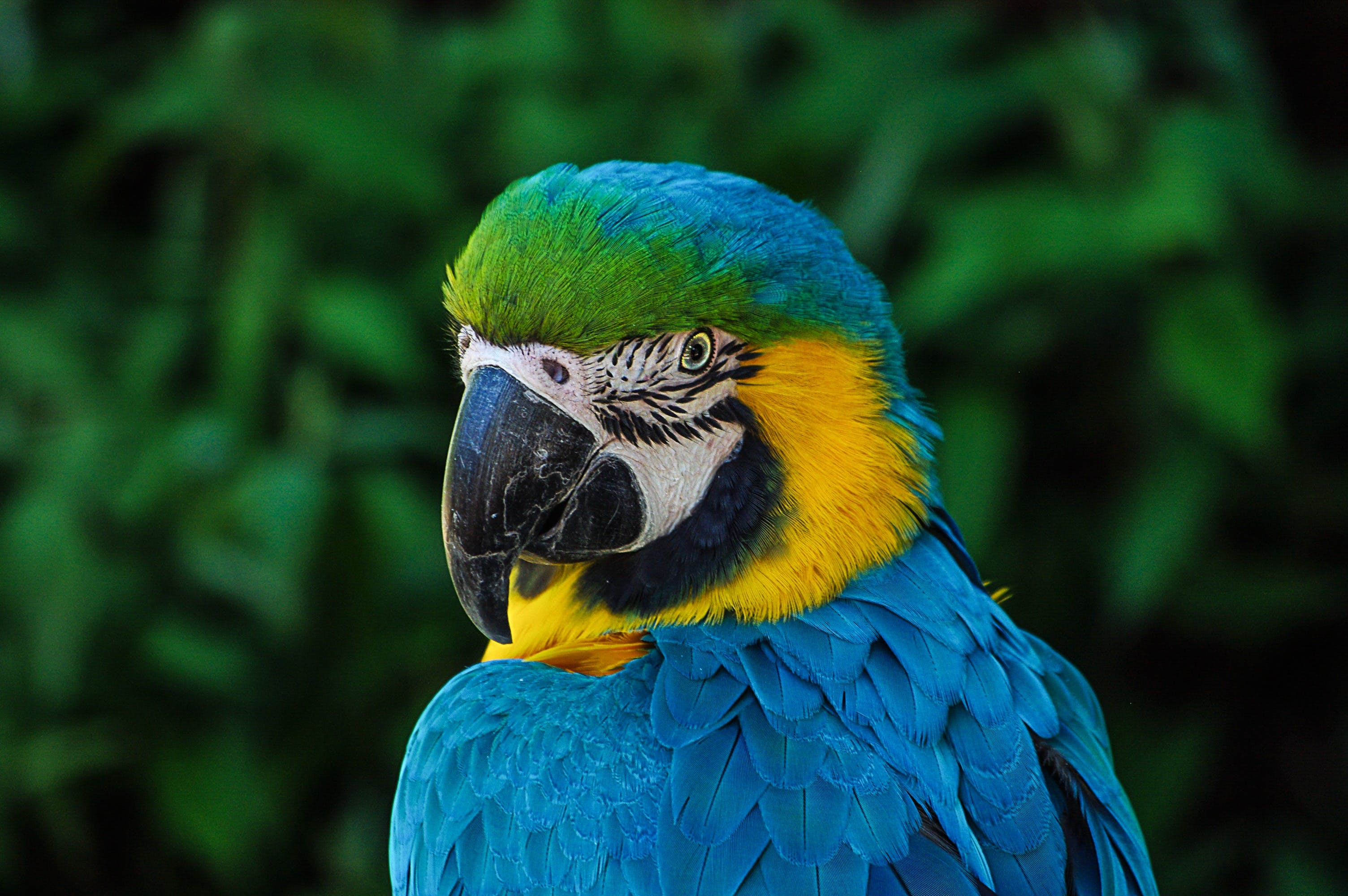 Blue and Yellow Bird