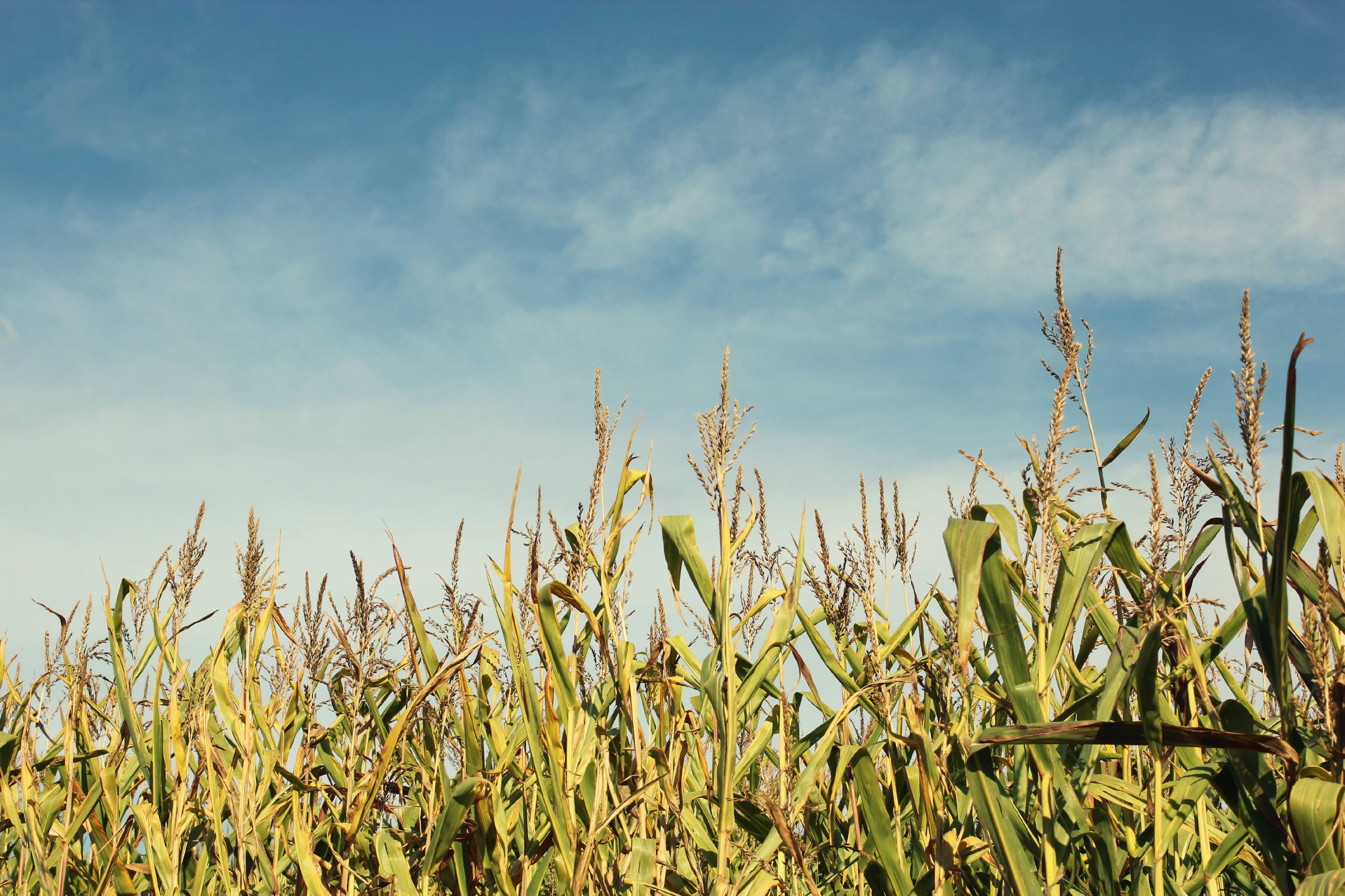 Free stock photo of blue sky, clouds, corn, corn field