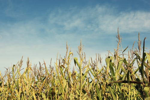 Free stock photo of blue sky, clouds, corn