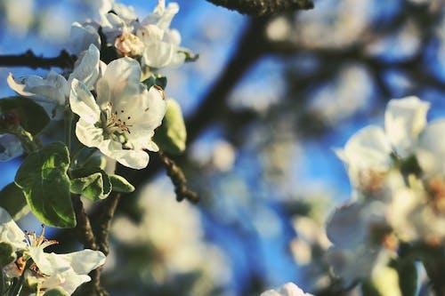 คลังภาพถ่ายฟรี ของ กลีบดอก, กำลังบาน, กิ่ง, ดอกตูม