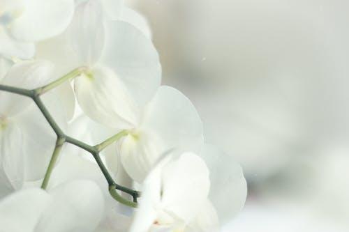 คลังภาพถ่ายฟรี ของ กล้วยไม้, ขาว, พืช, ภาพถ่ายมาโคร