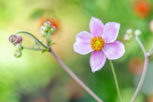 Delicate colorful pink anemone flower with small petals growing near blurred flowers in garden