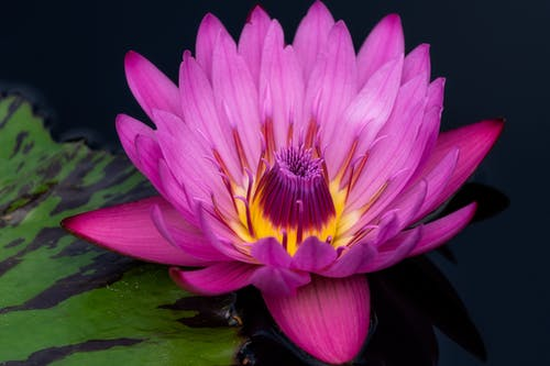 From above of bright violet exotic flower lotus growing near green leaf on surface of dark calm water