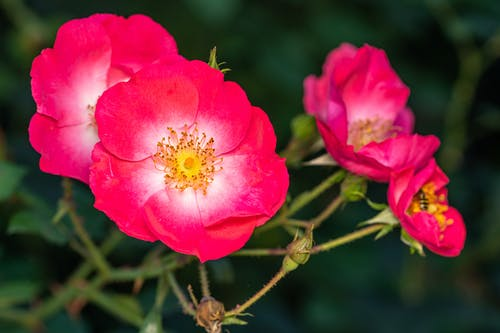 Blooming Rosa rubiginosa flowers growing in garden