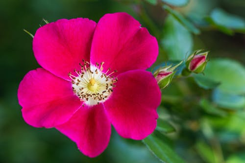 From above closeup of blooming wild prairie rose with bright pink petals growing in lush green garden in daylight