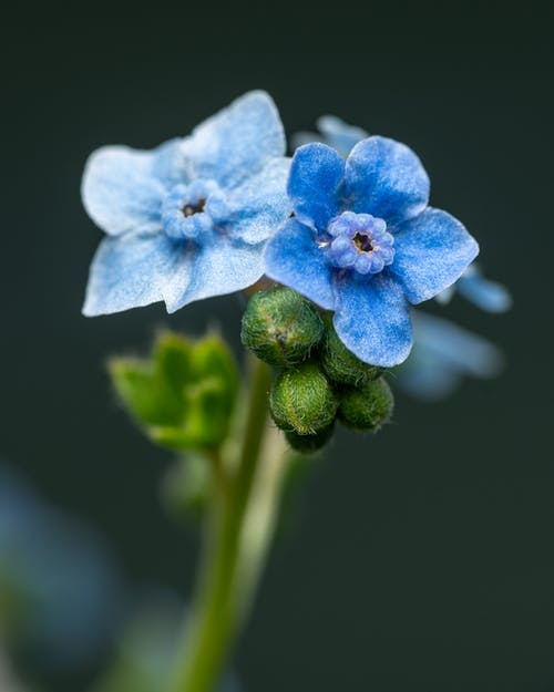 Closeup bunch of delicate blooming Cynoglossum amabile flowers with blue petals growing in garden